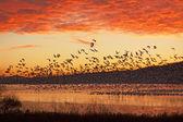 Fotografie Schnee-Gänse fliegen bei Sonnenaufgang