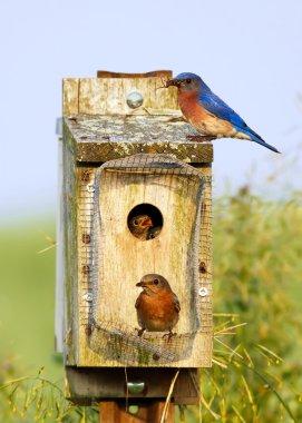 Eastern Bluebirds Feeding