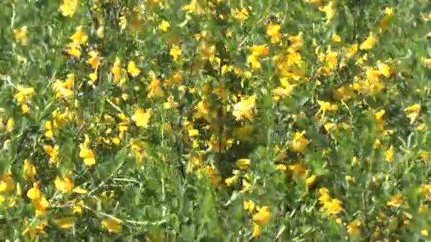 žluté květy na jaře