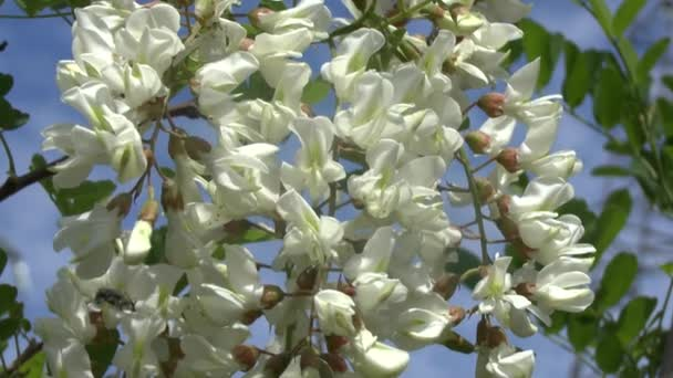 kvetoucí větev akátu