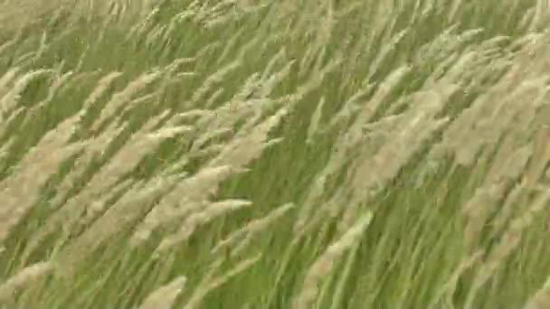tráva zelená
