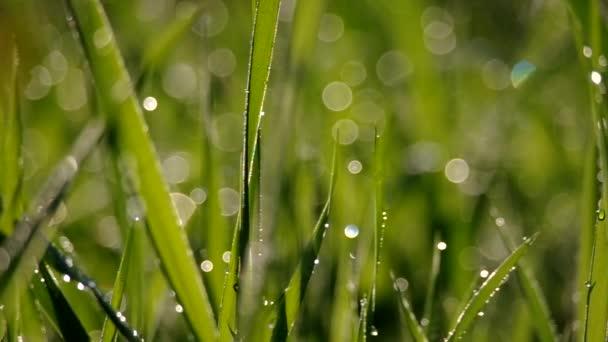 zelené trávě v ranní Rosa