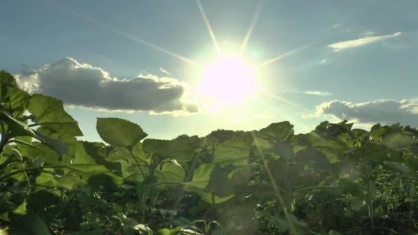 solros fält, kväll