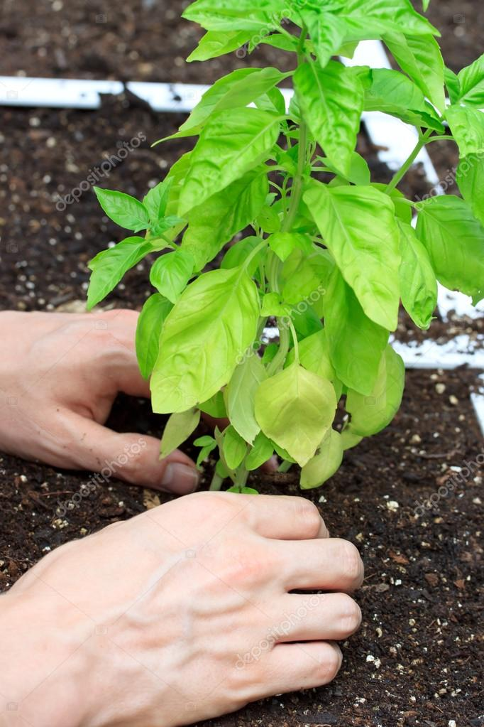 Basil Plant Being Cared for