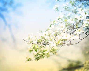 Blossoming Dogwood Tree