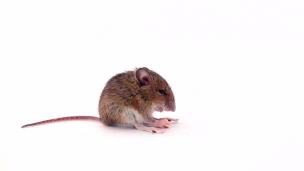 Kleine Maus schlafend essen