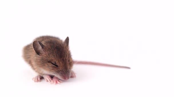 kleine Maus schlafen