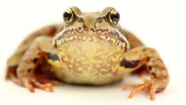 Braun Frosch