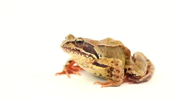 hnědá žába