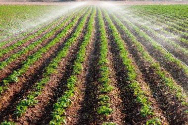 Potato field landscape