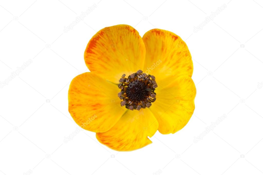 Yellow poppy flower stock photo mpalis 49054033 yellow poppy flower stock photo mightylinksfo