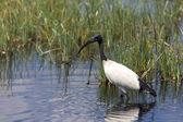 posvátné ibis lov v národní hry jezero naivasha zaparkovat Keňa