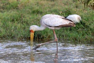a yellow billed stork fishing in a river at naivasha lake national game park kenya