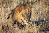Muž Lev spí v národním parku etosha