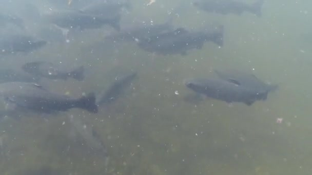 Underwater view of trout at a fish farm