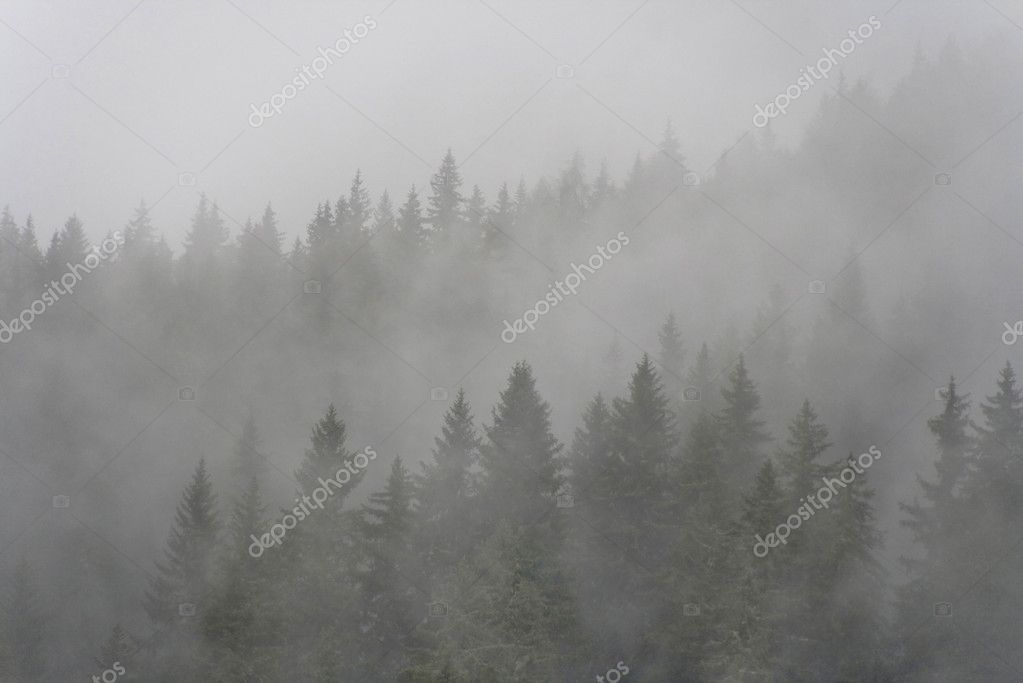 Pine forest in the fog
