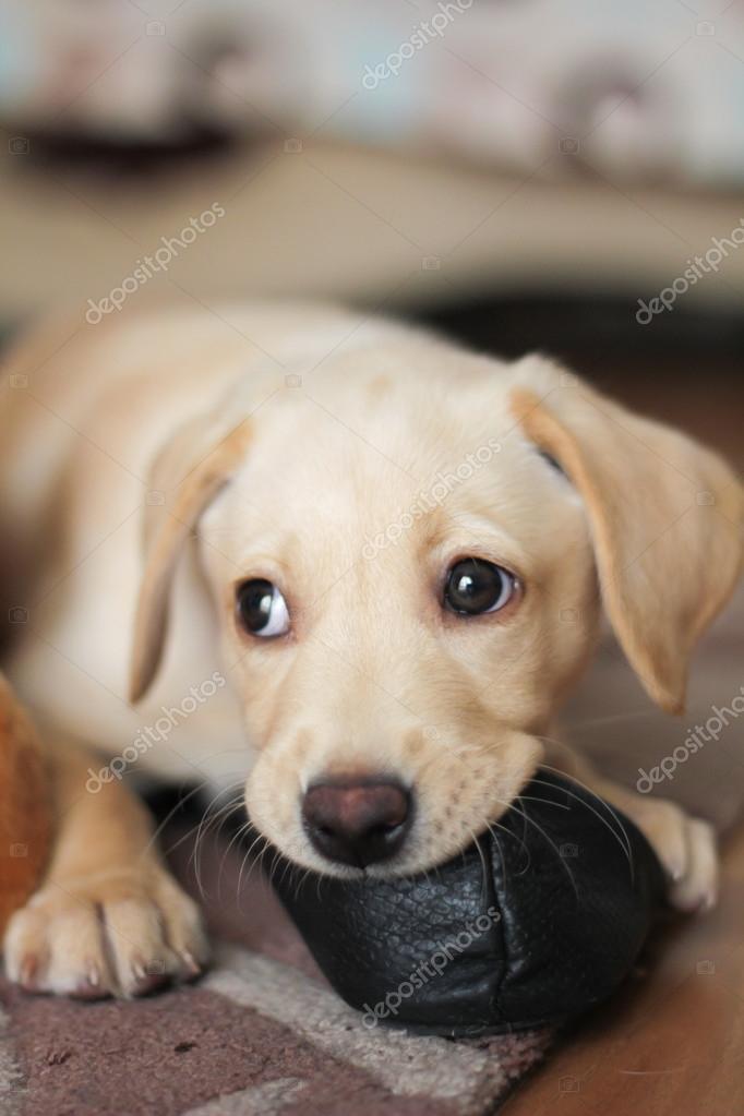 Ein Hübsch Golden Labrador Welpe Stockfoto Dumfstar 34013335