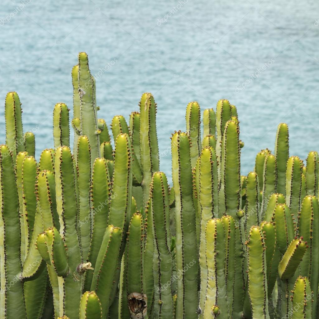 Canary Island Spurge