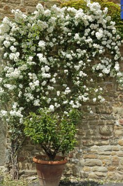 Flowering white garden rose