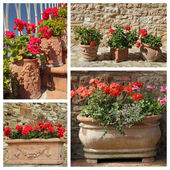 Geranium plants in ceramic pots