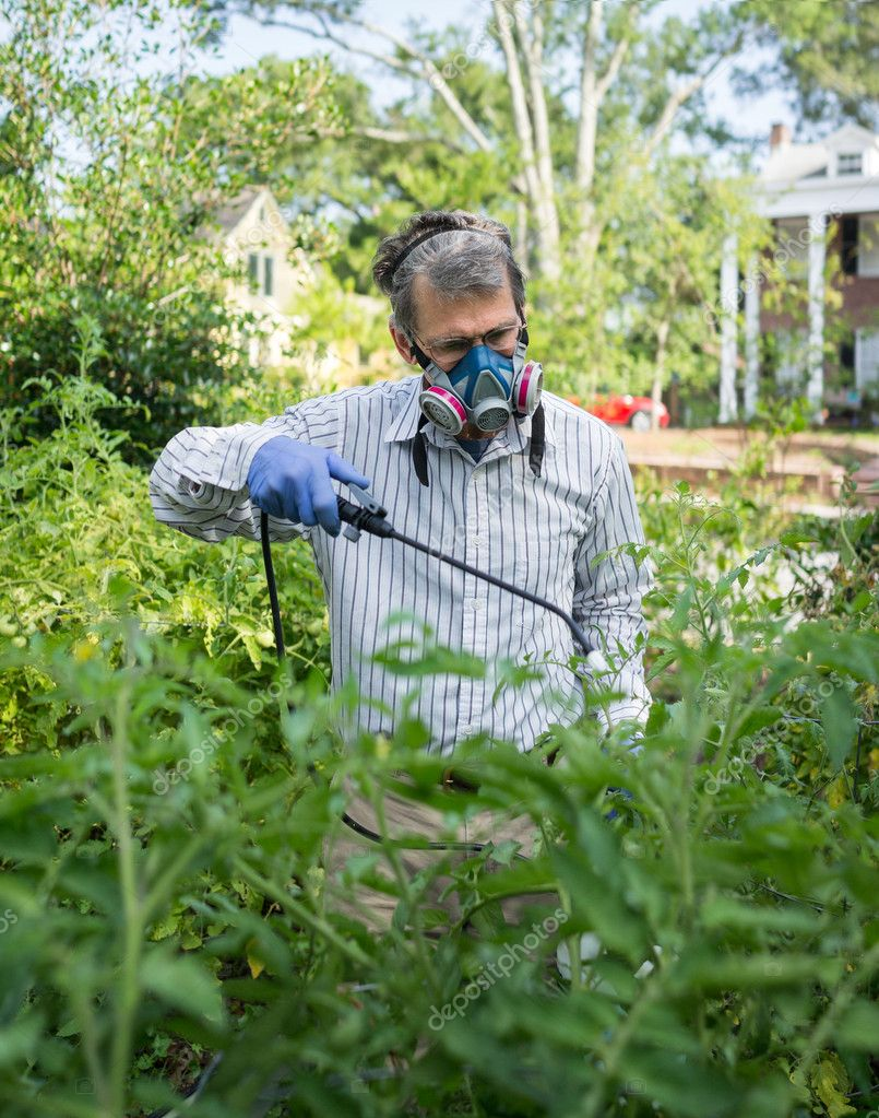 Man Spraying His Insect Infested Tomato Plants