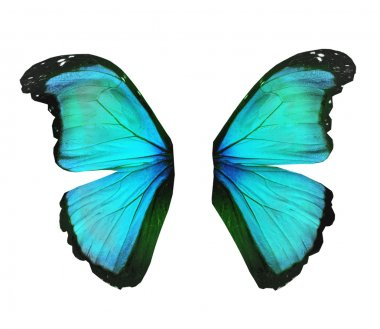 Wings of morpho turquoise butterfly , isolated on white