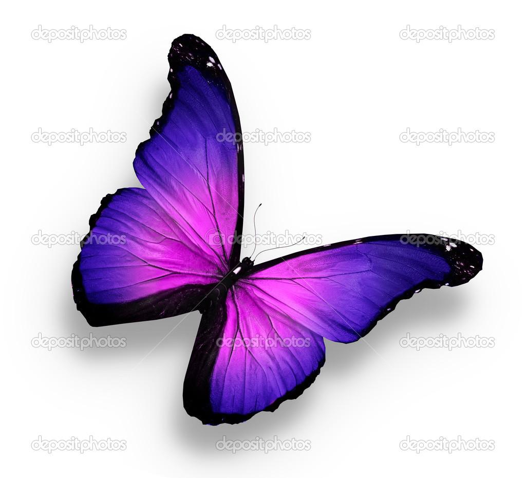 Papillon violet sur fond blanc photographie sun tiger 12707685 - Images de papillon ...