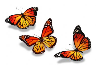 Three yellow-orange butterflies, isolated on white background