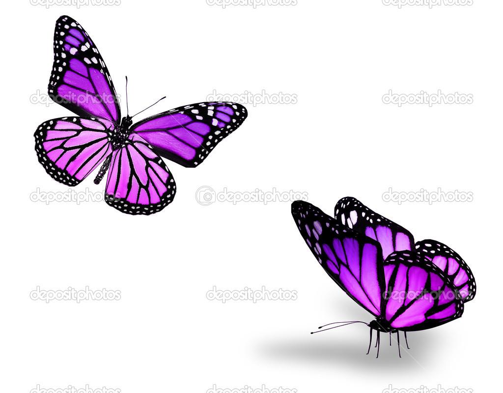 Dos Mariposas Violetas Sobre Fondo Blanco