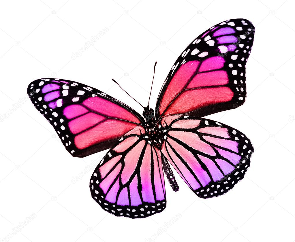 Pink violet butterfly , isolated on white