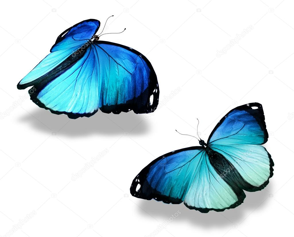 Two blue butterflies, isolated on white background, concept of meeting
