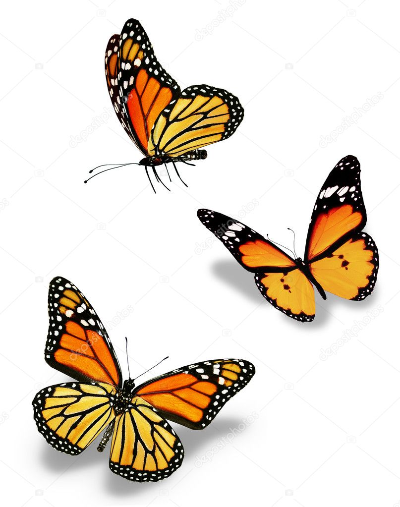 Three orange butterflies, isolated on white