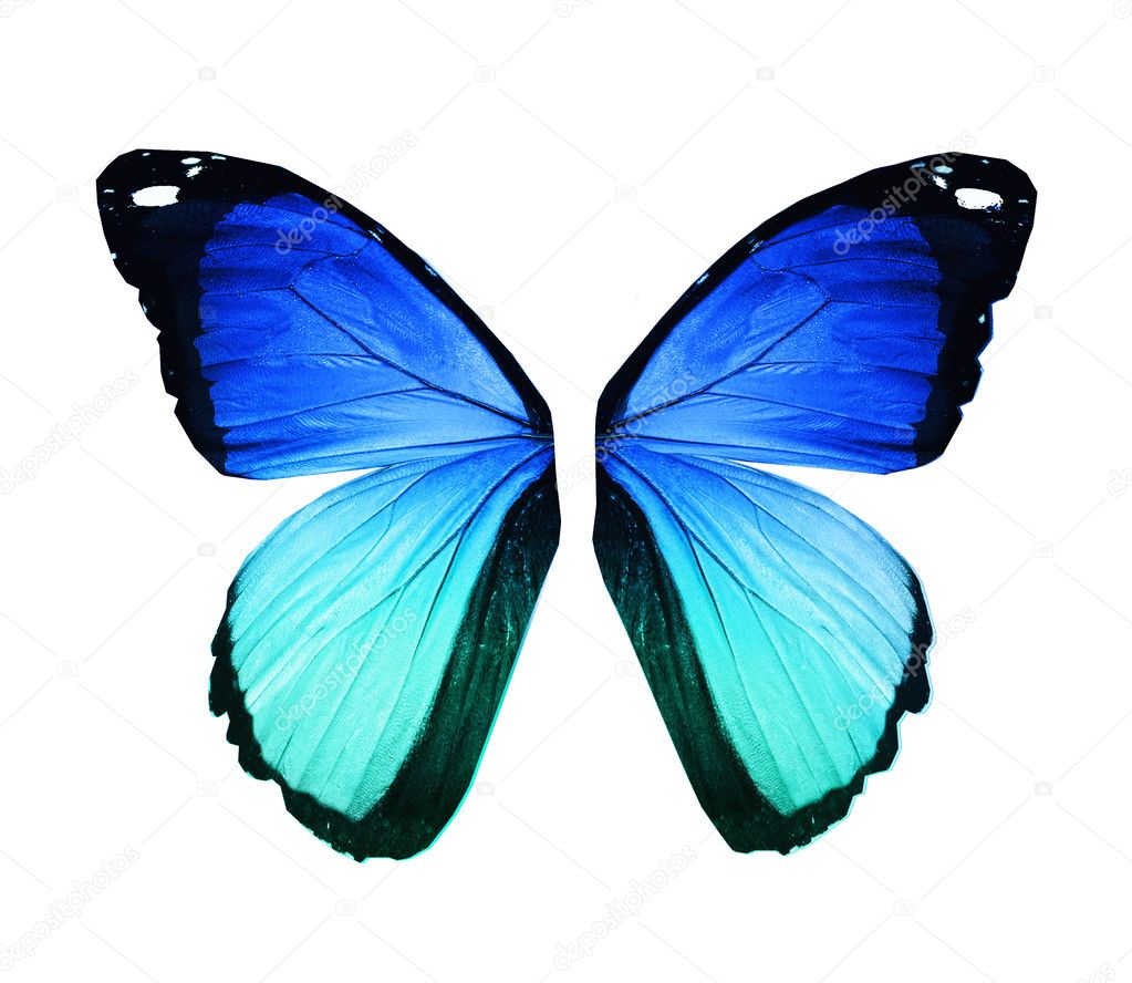Morpho blue butterfly wings, isolated on white
