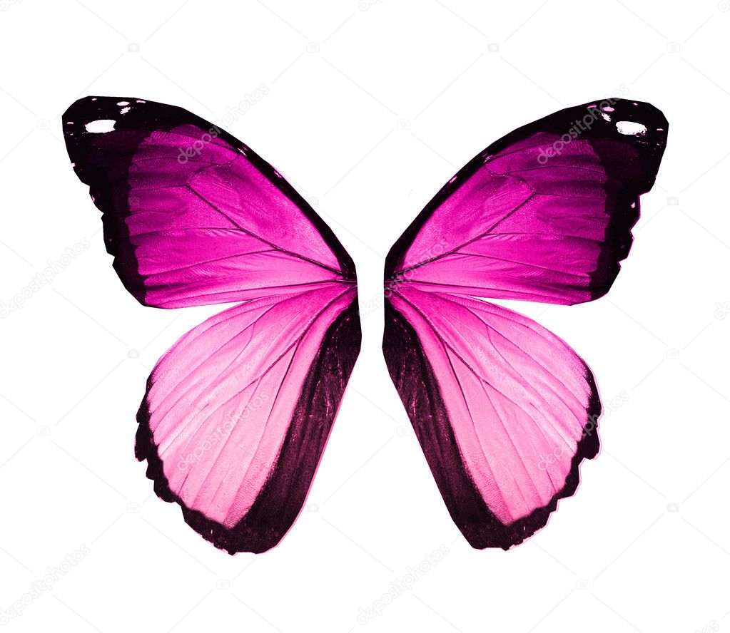 Morpho violet pink butterfly wings, isolated on white