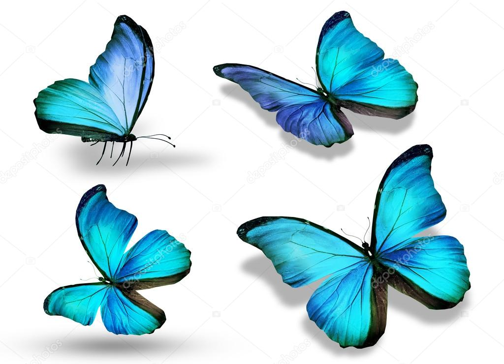 Four Blue Butterflies Isolated On White Background Stock Photo 169 Sun Tiger 36296487