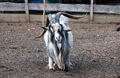 Photo Shaggy haired goat on the farm