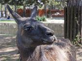 Fotografie Llama (lama glama)