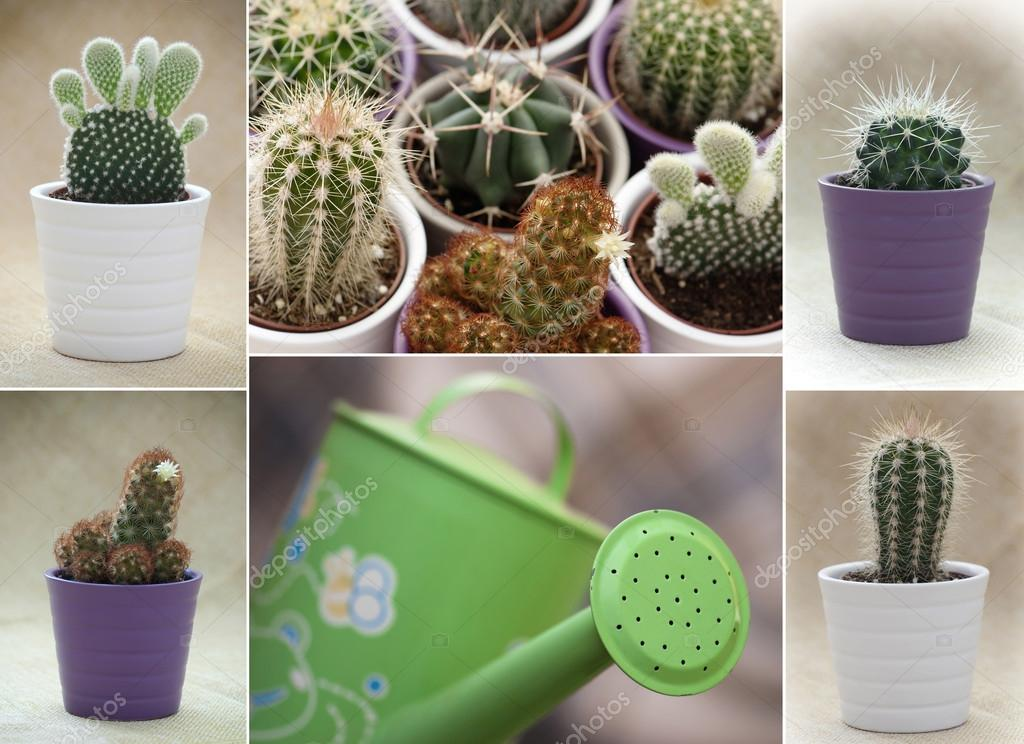 Various cacti and green watering can