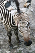 Mountain zebra (Equus zebra hartmannae)