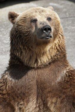 Standing brown bear