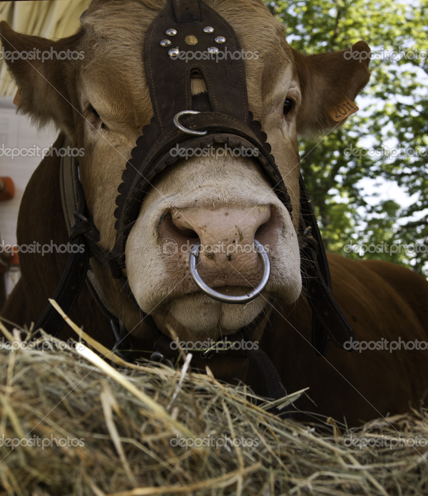 Images Cow With Nose Ring Domesticated Cow With Nose Ring