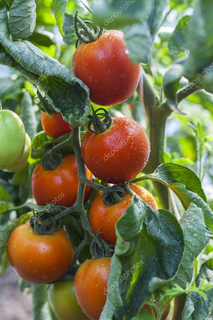 помидоры дульки фото нафаршированы