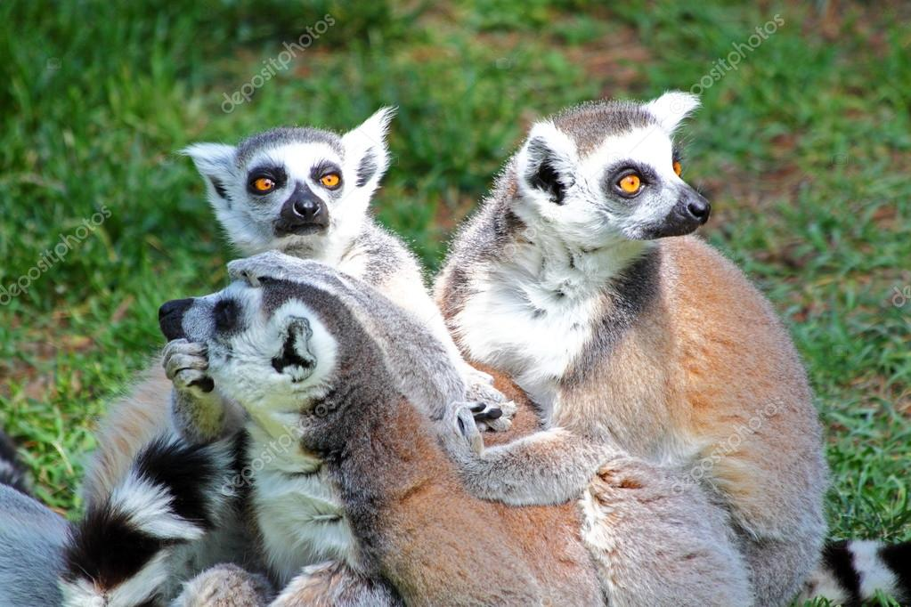 Group of Ring-tailed lemurs (Lemur catta)