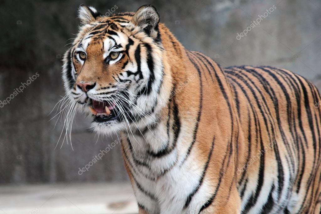 Siberian tiger (Panthera tigris altaica) standing