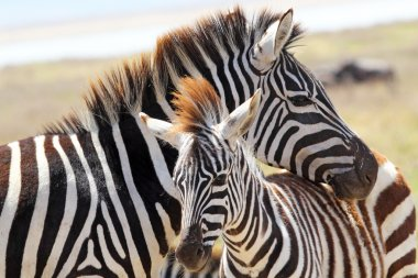 Baby zebra with mother