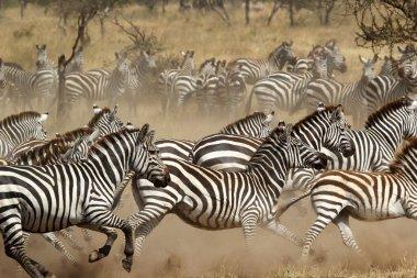 A herd of common zebras (Equus Quagga) gallopping in Serengeti National Park, Tanzania stock vector