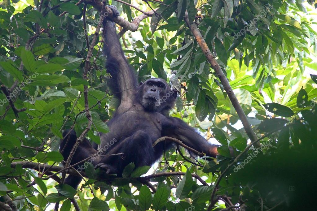 Male chimpanzee on a tree