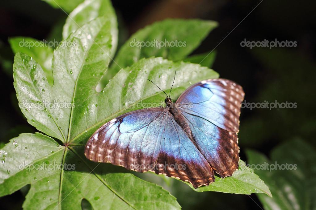 mariposa azul metálico en una hoja — Fotos de Stock © MattiaATH ...