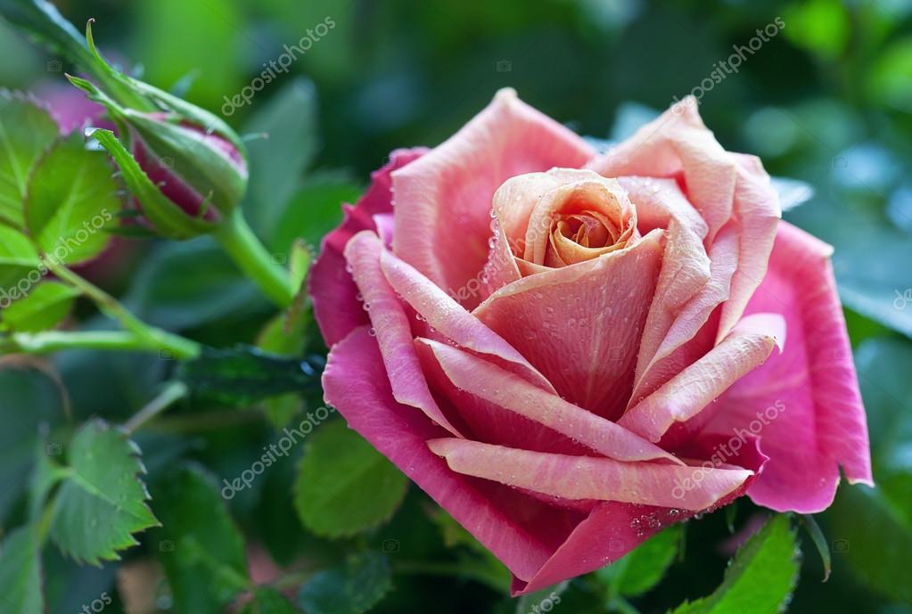 Rose in a garden.