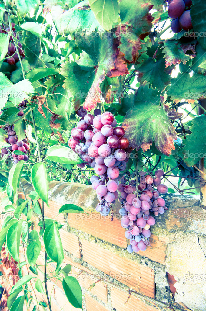 üzüm Salkımı Stok Foto Pabkov 35344153